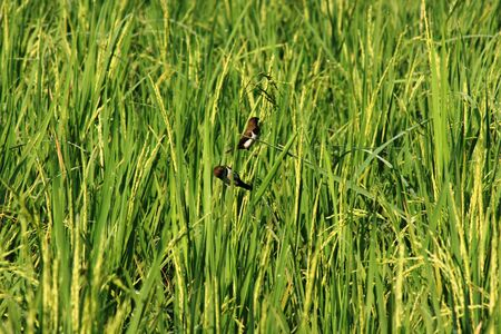 small birds perched around the paddy fields photo