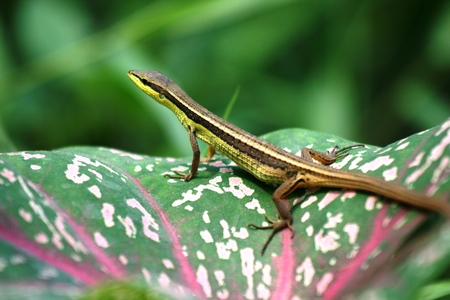 Green lizard is peeping from cluster of green flowers photo