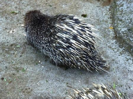 Hedgehog erinaceus albiventris in the Indonesian tourist park photo