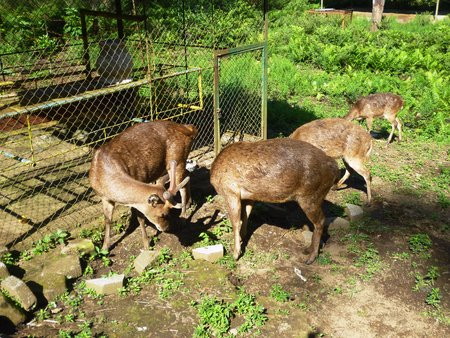 dominating: deer in the garden tour in Batu ,Malang, east java , Indonesia Stock Photo