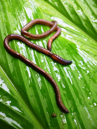 annelida: earthworms were placed on a wet leaf