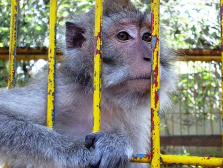 portrait of monkeys behind cage bars