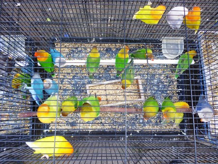 beautiful green parrot lovebirds in the cage photo