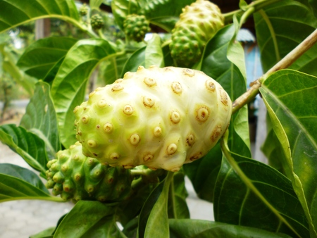 Morinda citrifolia - Noni fruit tree