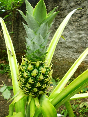 indonesian biodiversity: Young Pineapple (Ananas comosus) with green colour
