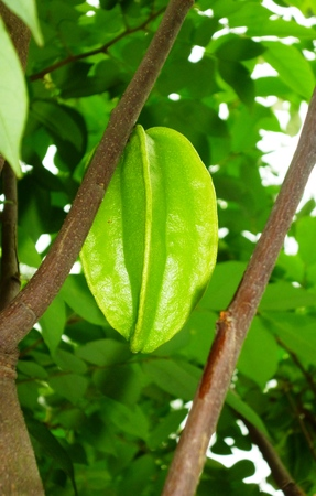 indonesian biodiversity: Starfruit a.k.a Belimbing, popular fruit tree of the orient. Immature fruits are green, turning yellow or orange at maturity (Averrhoa carambola)