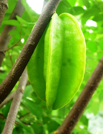 indonesian biodiversity: Starfruit a.k.a Belimbing, popular fruit tree of the orient. Immature fruits are green, turning yellow or orange at maturity (Averrhoa carambola)