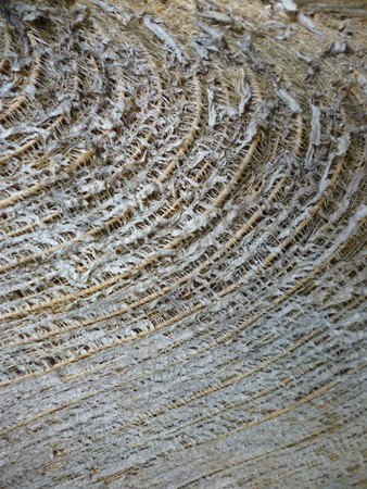 cocos nucifera: Detail of a Coconut palm (Arecaceae - Cocos nucifera) trunk as background Stock Photo