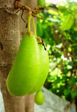 bilimbi: Bilimbi Fruit on tree Stock Photo