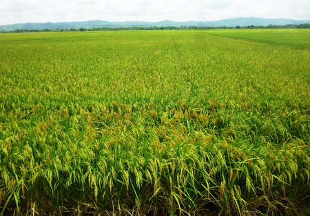 rijst: Paddy of Rice field in central java, Indonesia