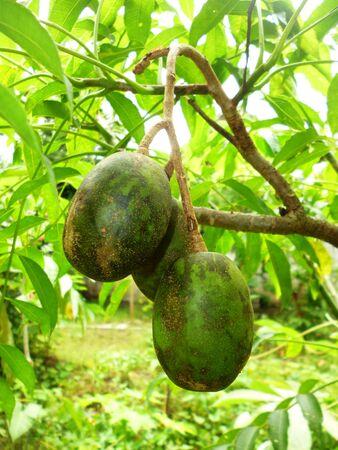 indonesian biodiversity: Kedondong Spondias dulcis Forst. Stock Photo