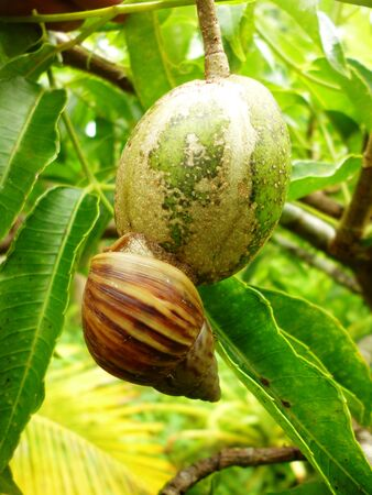 indonesian biodiversity: snail hanging on the Kedondong Spondias dulcis Forst. Stock Photo