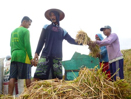 rice harvest: rice harvest in Indonesia which is an agrarian country in asian