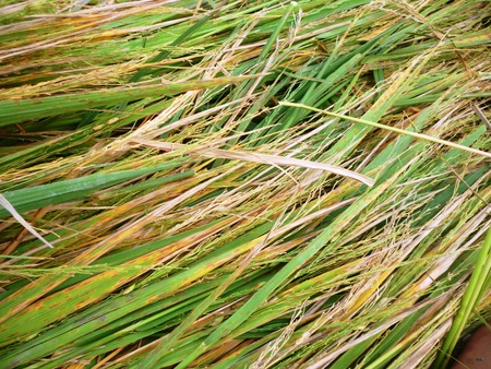 deatil: deatil of rice plant after  harvest in Indonesia which is an agrarian country in asian