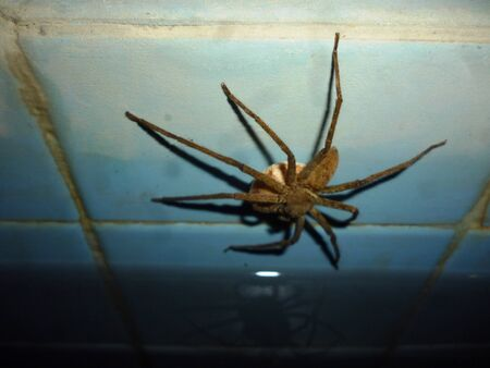 arachnophobia: spider on the young blue Wall