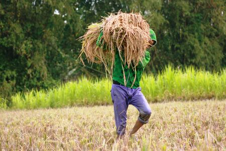 agrarian: rice harvest in Indonesia which is an agrarian country in asian