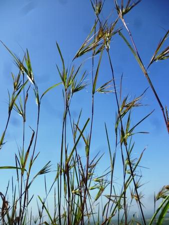 viento soplando: hierba verde bajo el cielo azul viento sopla