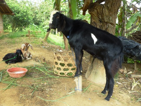 Portrait of a funny goats on rural scene