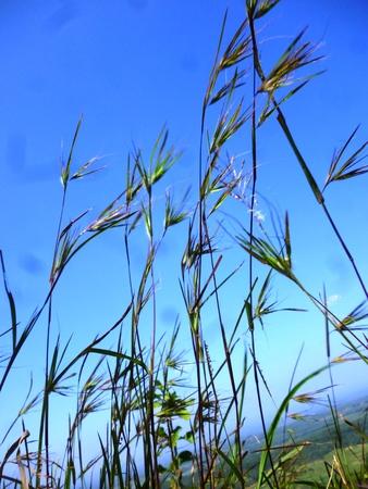 viento soplando: green grass under blue sky  wind blowing