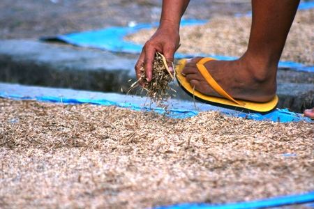 equalize: farmer hand drying rice grain on the ground