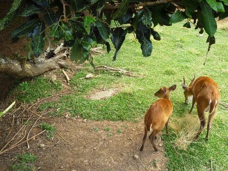 jousting: two red deer stag in animal conservation, Indonesia