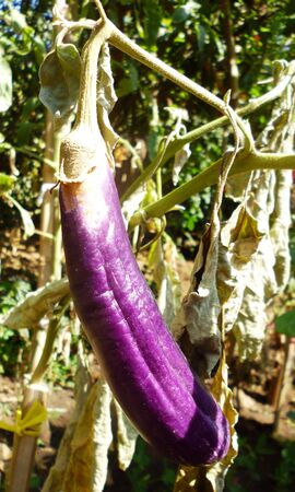 sinlight: purple eggplants growing on the bush