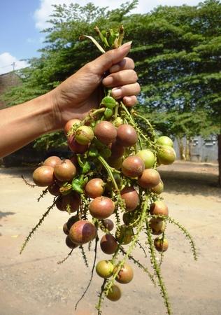 grasp: matoa Pometia pinnata Irian Jaya in typical fruit in the grasp of the hand