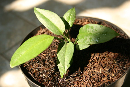 germinate: growing plants from seeds of anthurium in small pot Stock Photo