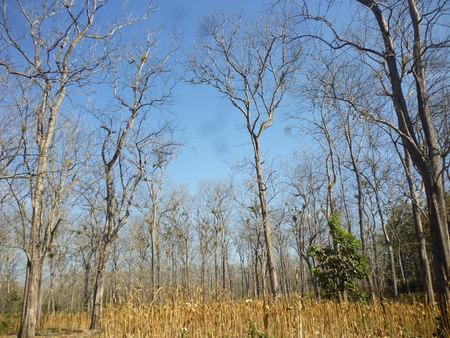 teak trees in timber -producing areas Randublatung , Blora , Indonesia