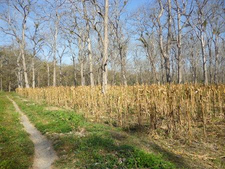 holz: teak trees in timber -producing areas Randublatung , Blora , Indonesia