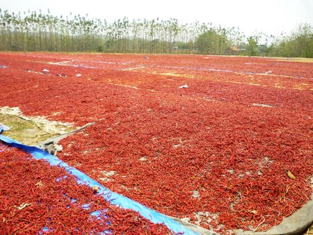 red chilli: Red chilli drying