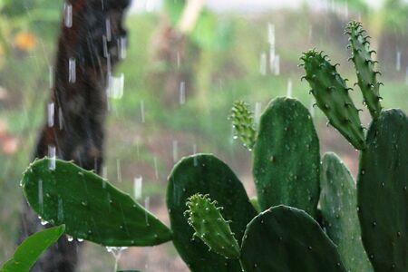 heavy rain: Heavy rain on cactus