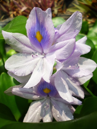 water hyacinth: water hyacinth with purple flower