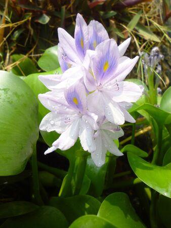 hyacinth: water hyacinth with purple flower