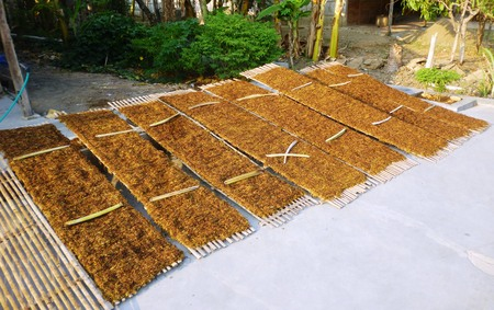 impotent: tobacco leaves drying in the sun in Indonesia Stock Photo