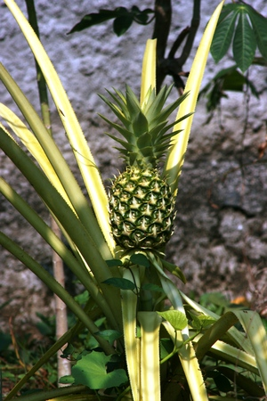 indonesian biodiversity: Young Pineapple Ananas comosus with green colour