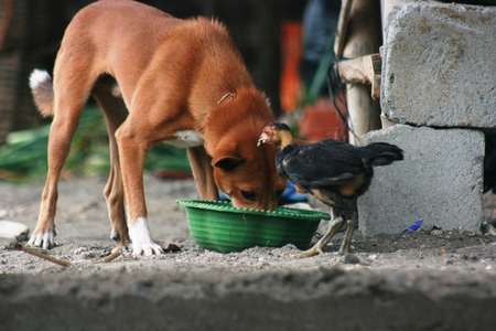 kampung: Anjing Kampung, Indonesian Local Dog Stock Photo