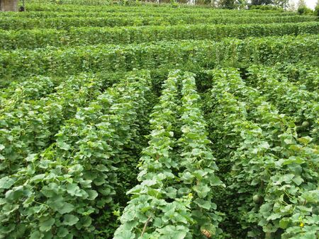 melon field: agriculture melon field Indonesia