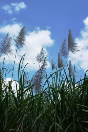 cane plumes: Sugar Cane flower growing Stock Photo