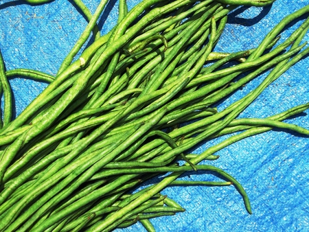 long beans: Long green beans isolated on blue