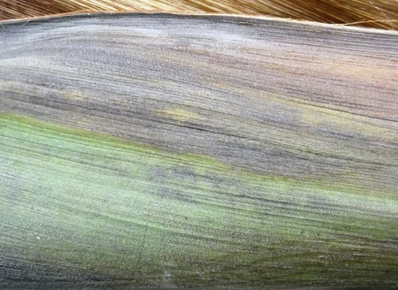 frond: An abstract closeup of a section of a wooden palm frond with a linear texture