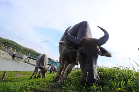 herding: herding buffalo