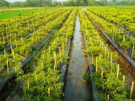 field cayenne pepper Stock Photo