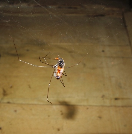 araneidae: Dead beetles caught in cobwebs Stock Photo