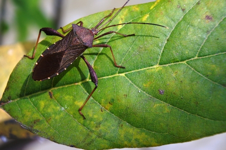 termite: Close up of Termite Assassin Bug (Valentia compressipes) on green leaf in nature