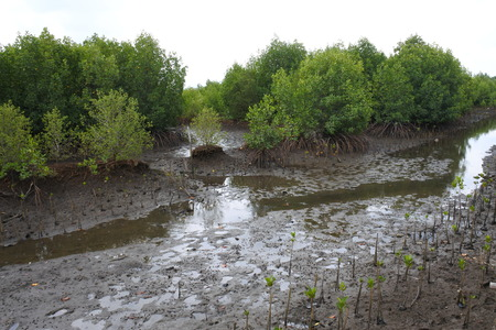 mangrove trees planted on the beach side of an island