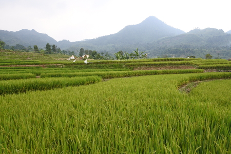 views of fields, rice fields, roads and hills in the highlands of Bogor Stok Fotoğraf