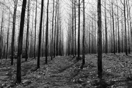 teak tree as far as the eye can see Reklamní fotografie - 124701682