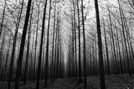 teak tree as far as the eye can see Reklamní fotografie - 124701683
