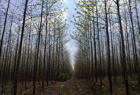 teak tree as far as the eye can see